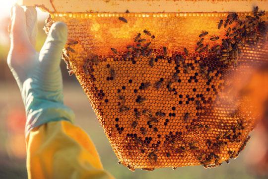 01_Le-cru-fatevobees-miele-in-favo-apicoltori-pino-fattori